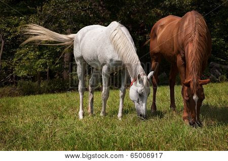 Horizontal image of two thoroughbred horses eating on a green meadow. Grey  and chestnut thoroughbr