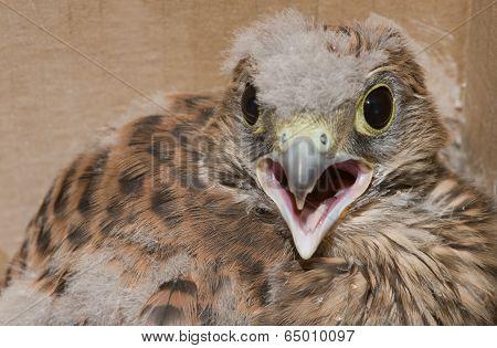 Falco Tinnunculus Bird