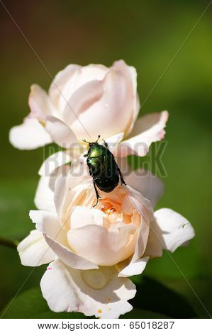 Guest on the flower. Rose chafer.