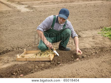 Happy Farmer Manually Put The Potatoes In The Furrow