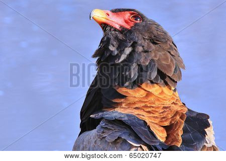 Bateleur Eagle Background - Wildlife from Africa