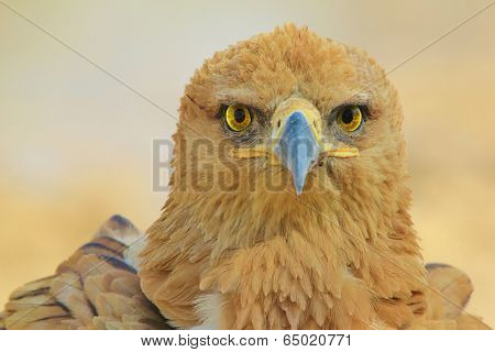 Tawny Eagle Background - Wildlife from Africa - Piercing eyes of Yellow