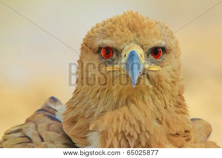 Tawny Eagle Background - Wildlife from Africa - Eyes of Piercing Red