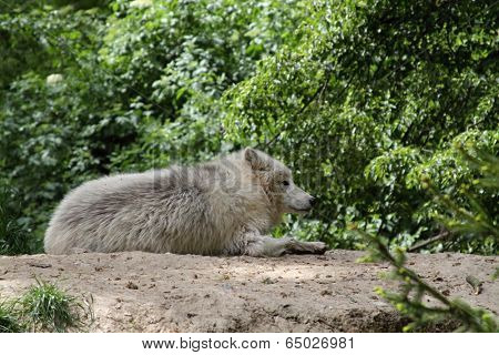 wolf resting on the ground in the wild