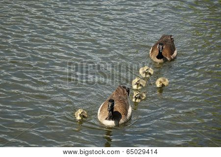 Goose Pair with 5 Goslings