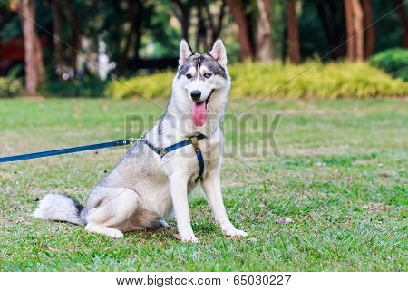 Siberian Husky On A Leash In The Park
