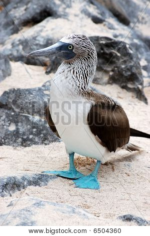 Blue footed booby, Galapagos.
