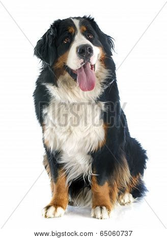 Bernese Moutain Dog