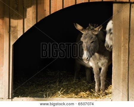 Two Donkeys in the Stable