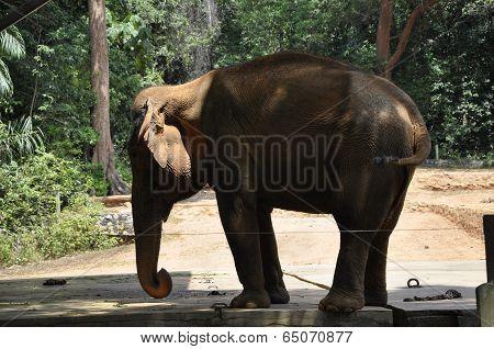 An Elephant in Malacca Zoo