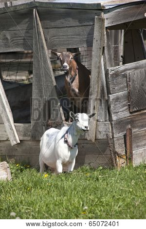 Two Boer Goats.