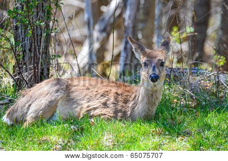 Young white tailed deer in Shenandoah National Park, Virginia