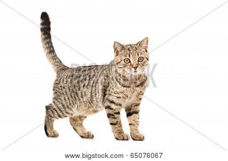 Young cat Scottish Straight