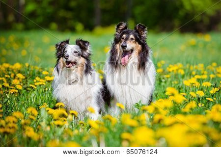 Sheltie and rough collie dogs outdoors