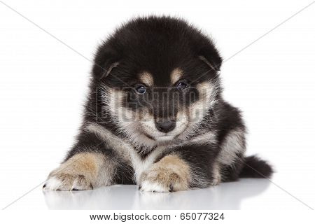Shiba Inu Puppy On White Background