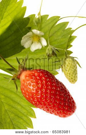 Strawberry-gariguette