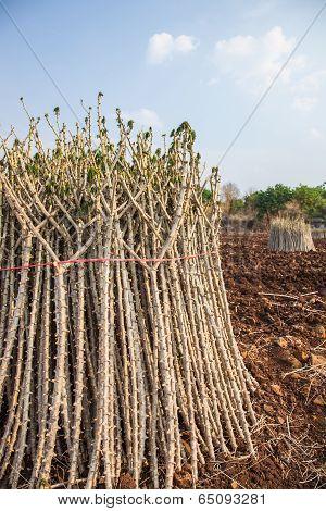 Early Varieties Of Cassava