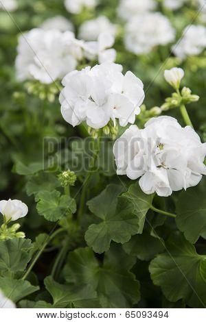 Close up of Pelargonium flowers