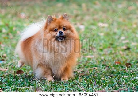 Pomeranian Doing The Symbol To Declare Its Territory