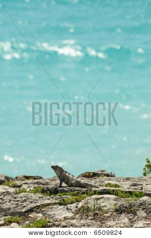 Iguana And Turquoise Ocean Backdrop