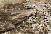 foto of leech  - Crocodiles are old leech on the body - JPG