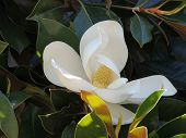 image of crimea  - Magnolia tree with white flowers - JPG