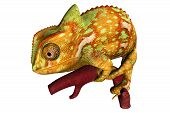 pic of chameleon  - 160 species of chameleon come in a range of colors - JPG