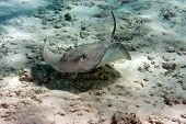 stock photo of guitarfish  - guitarfish under water lies merging with a sandy bottom - JPG