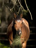 stock photo of horses eating  - A beautiful horse is eating straw in partial shade near Hayden Idaho - JPG