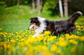 pic of long tongue  - black rough collie dog outdoors in summer - JPG