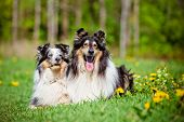 picture of sheltie  - sheltie and rough collie dogs outdoors in summer - JPG