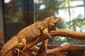 stock photo of terrarium  - Iguana cuban terrarium animals theme  reptile zoo. ** Note: Visible grain at 100%, best at smaller sizes - JPG