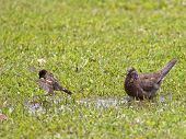 stock photo of interrupter  - As soon as the Spotted Dove  - JPG