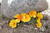 foto of xeriscape  - boulder threatens poppy blooms - JPG