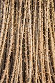 image of cassava  - Early varieties of cassava cuttings for planting