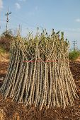 pic of cassava  - Early varieties of cassava cuttings for planting