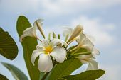 foto of champa  - white frangipani beautiful fresh and blue sky
