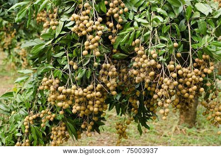 Longan Hanging On Tree