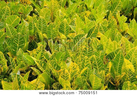Codiaeum Variegatum Leaf Background