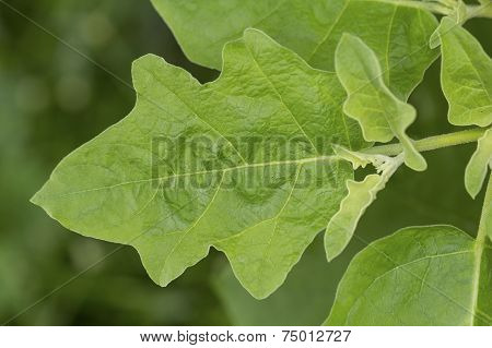 Leaf Of Green Cockroach Berry