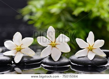 Three gardenia with green plant leaf on wet black pebbles