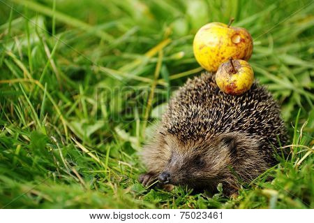 Hedgehog with apple 4