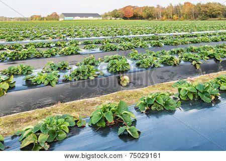 Strawberry Plants In Autumn