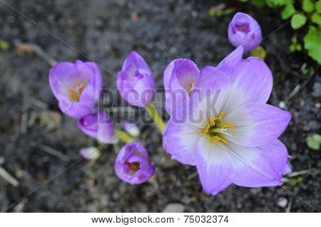 Sunlit Colchicum In The Flowerbed