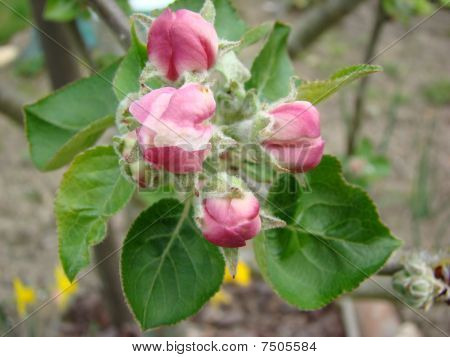 English Bramley Apple Blossom Buds