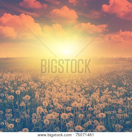 Dandelion field at sunset in vintage style.