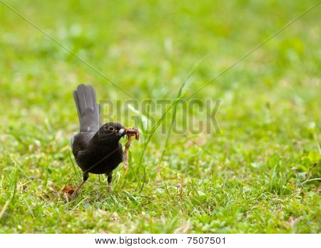 Blackbird On A Meadow