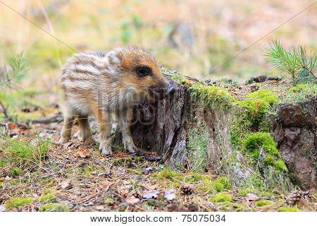 Wild Boar, Sus Scofra