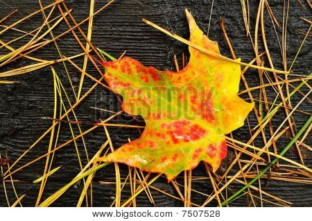 Close-up Of A Colorful Maple Leaf