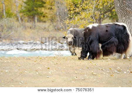 Herd Of Yaks Grazing In The Meadow.